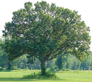 Old White Oaks can be as wide as they are tall.