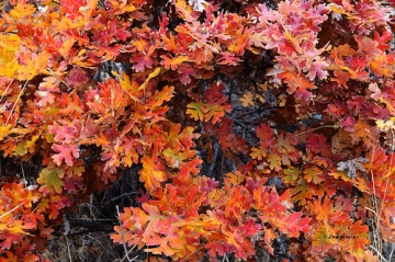 The leaves on a White Oak can turn a dark red color in the fall.